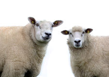 Deux moutons sur un fond blanc Photo stock