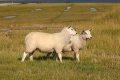 Deux moutons sur une digue Photographie stock