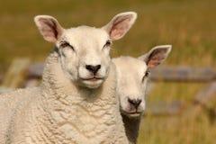 Deux moutons sur une digue Photo stock
