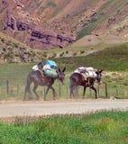 Deux mules Photo libre de droits