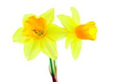 Deux narcisses jaunes d'isolement Photographie stock libre de droits
