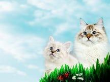Deux Neva Masquerade Cats sur le fond nuageux bleu photos libres de droits