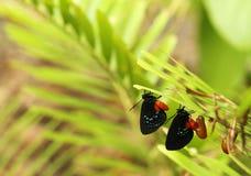 Deux nouveaux papillons naissants d'Atala Photos stock