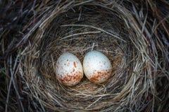 Deux oeufs de junco dans le nid Images libres de droits