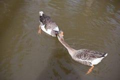 Deux oies échangeant l'affection sur l'un l'autre photos stock