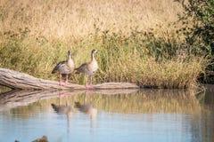 Deux oies égyptiennes se tenant devant l'eau Photo libre de droits
