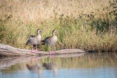 Deux oies égyptiennes se tenant devant l'eau Photographie stock
