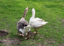 Deux oies adultes Photos libres de droits