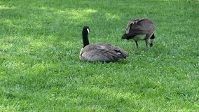Deux oies canadiennes sur la séance et la consommation vertes de pelouse banque de vidéos