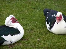 Deux oies détendant dans l'herbe Photo libre de droits