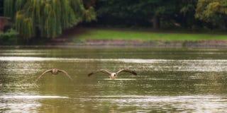 Deux oies de Canada volant au-dessus du lac Photographie stock libre de droits