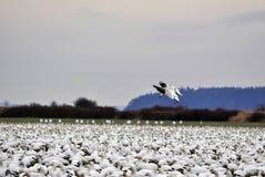 Deux oies de neige atterrissent en cette bande massive Image libre de droits