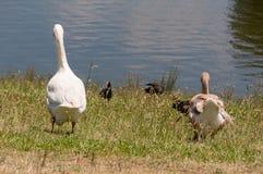 Deux oies domestiques marchant vers l'eau images libres de droits