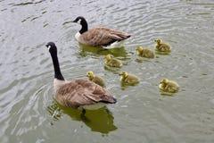 Deux oies et cinq oisons nageant dans l'eau calme photo stock
