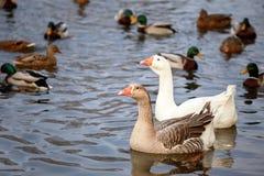 Deux oies nageant dans l'étang Photographie stock libre de droits