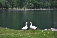 Deux oies se tenant près d'un lac Photos stock