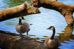 Deux oies se tenant sur un rondin photo libre de droits