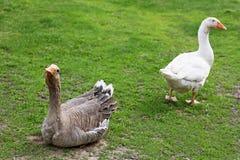 Deux oies sur l'herbe verte Photos libres de droits