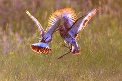 Deux oiseaux à queue noire masculins d'échassier de barge combattant dans le morni tôt Images stock