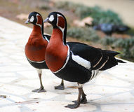Deux oiseaux bariolés Photo libre de droits