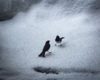 Deux oiseaux combattant dans la neige photos libres de droits