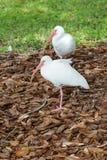 Deux oiseaux d'IBIS se tiennent dans une jambe Photos libres de droits