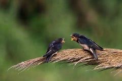 Deux oiseaux dans l'amour Photo libre de droits