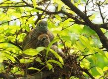 Deux oiseaux dans le ` s d'oiseau nichent, oiseau de bébé avec le portrait de mère Images stock