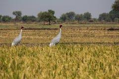 Deux oiseaux dans un domaine d'agriculteurs Photographie stock libre de droits