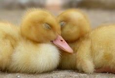 Deux oiseaux de chéri prudents Image libre de droits
