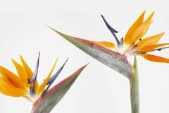 Deux oiseaux de paradis Photos stock
