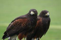 Deux oiseaux de rapace attendant pour chasser Images libres de droits