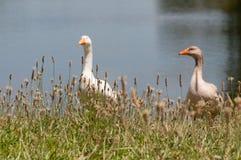 Deux oiseaux domestiques d'oies, volailles près d'un étang images stock