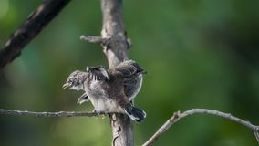 Deux oiseaux (FLYCATCHER pie de rose des vents) en nature sauvage Photographie stock