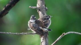 Deux oiseaux (FLYCATCHER pie de rose des vents) en nature sauvage Image libre de droits