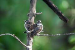 Deux oiseaux (FLYCATCHER pie de rose des vents) en nature sauvage Images stock