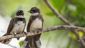 Deux oiseaux (FLYCATCHER pie de rose des vents) en nature sauvage Photographie stock libre de droits
