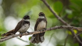 Deux oiseaux (FLYCATCHER pie de rose des vents) en nature sauvage Images libres de droits