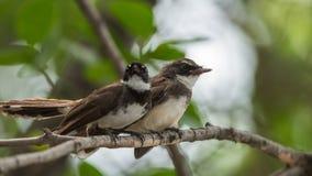 Deux oiseaux (FLYCATCHER pie de rose des vents) en nature sauvage Photo stock