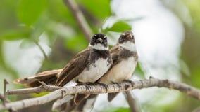 Deux oiseaux (FLYCATCHER pie de rose des vents) en nature sauvage Image stock