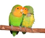 Deux oiseaux mignons d'amour de visage de pêche Images libres de droits
