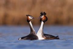 Deux oiseaux nageant sur le lac Photographie stock libre de droits