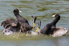 Deux oiseaux noirs de combat de foulque maroule avec des baisses de l'eau Images stock