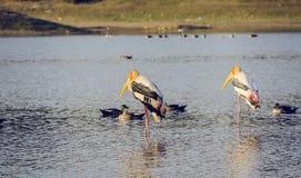 Deux oiseaux peints de cigogne avec des canards Photos stock