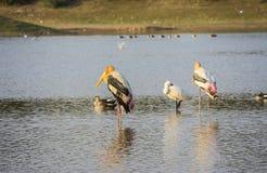 Deux oiseaux peints de cigogne se tenant avec des canards Photo stock