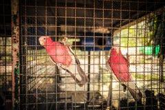 Deux oiseaux roses dans une cage à oiseaux Photo stock