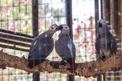 Deux oiseaux s'embrassant cage d'intérieur Photographie stock