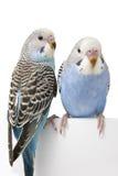 Deux oiseaux sont sur un fond blanc Photographie stock libre de droits