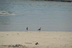 Deux oiseaux sur la plage Image stock