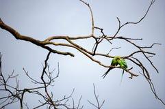 Deux oiseaux verts caressant sur un branchement d'arbre. Images libres de droits
